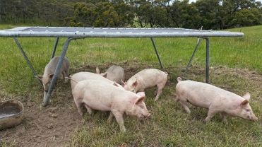 The piglets roaming free and having fun